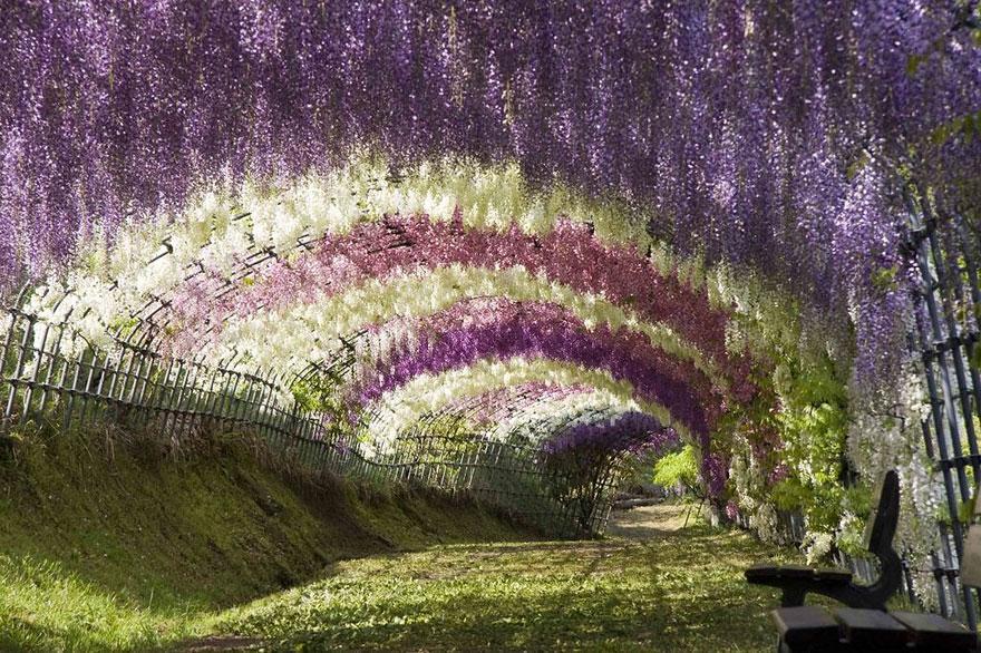 Đường hầm hoa Uwisteria, Nhật bản