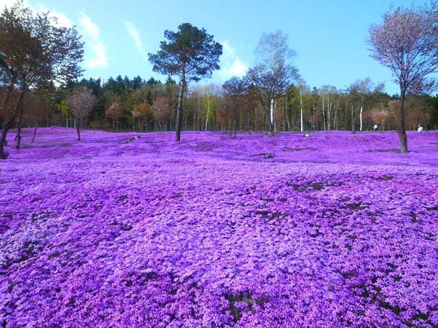 Vườn hoa Shibazakura, công viên Takinoue, Nhật Bán