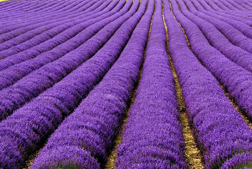 Cánh đồng hoa oải hương, Pháp